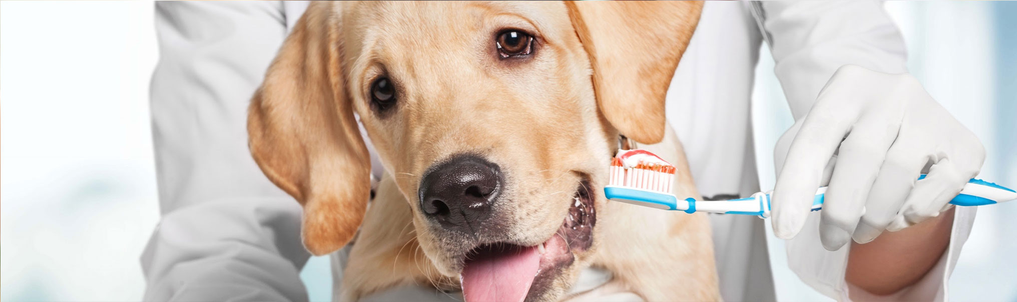 Veterinarian standing behind a dog and holding a toothbrush with toothpaste