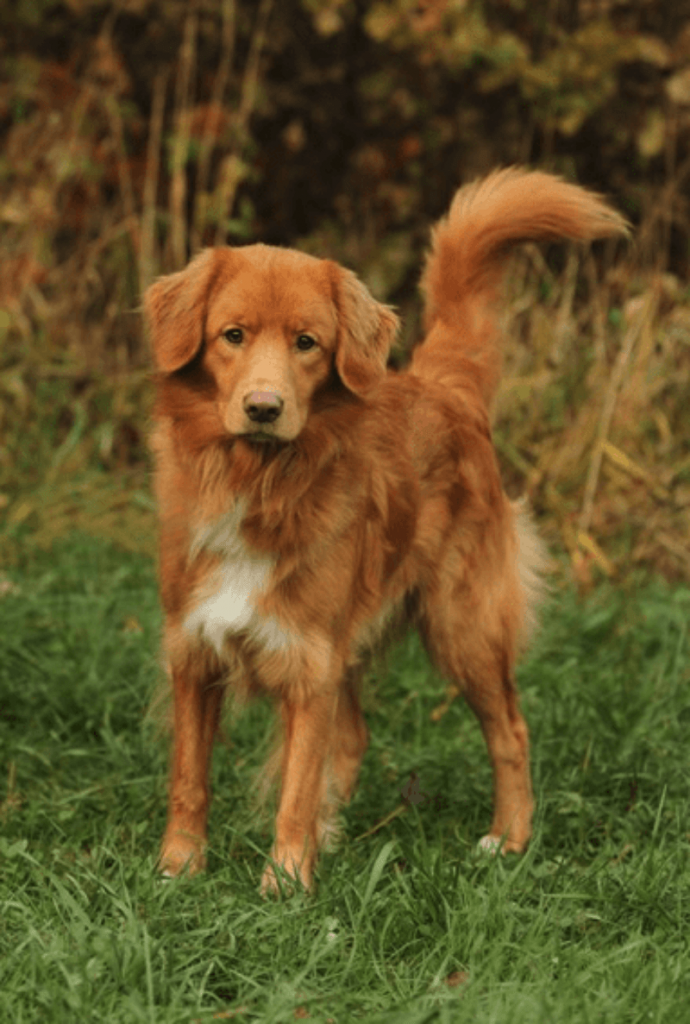 Characteristics of the Nova Scotia Duck Tolling Retriever