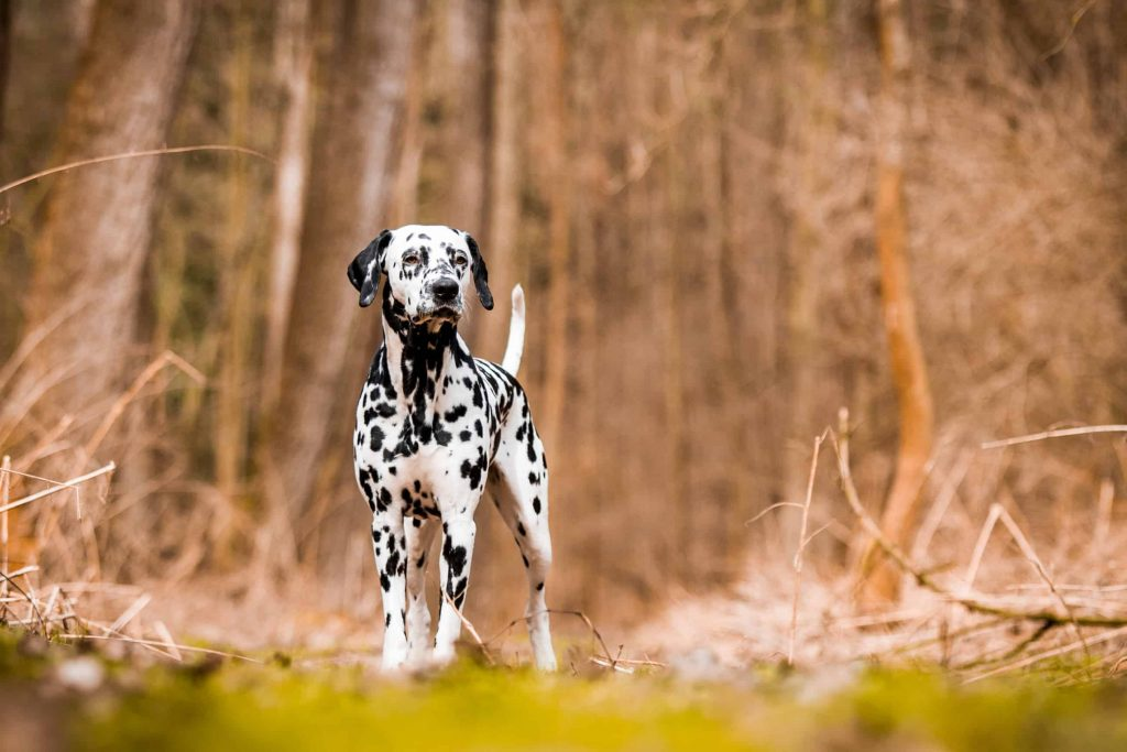 Dalmatians dog in forest