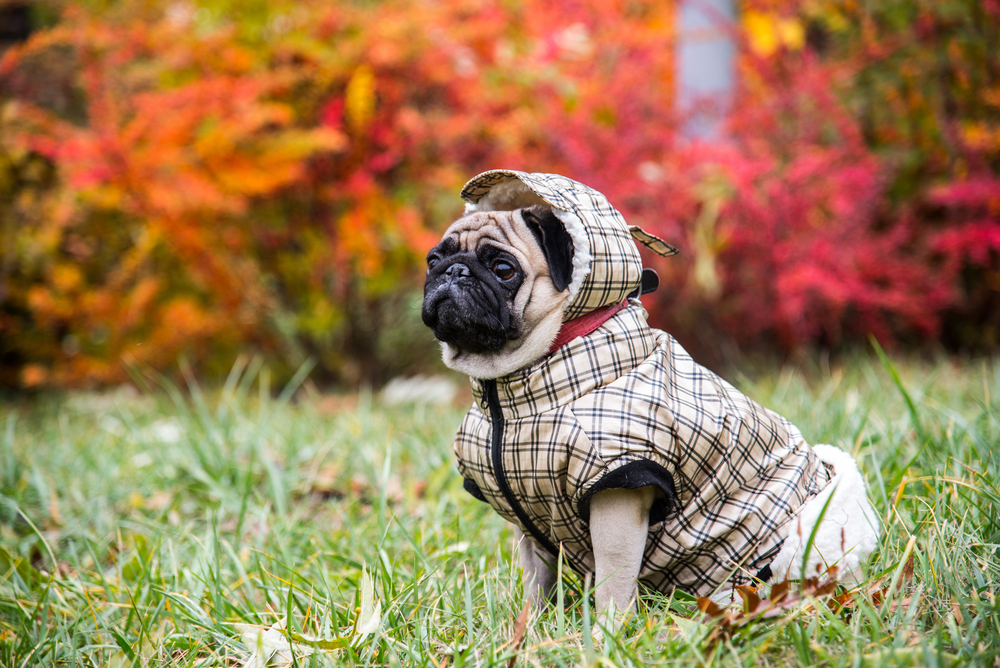 Dog wearing a jacket outdoors