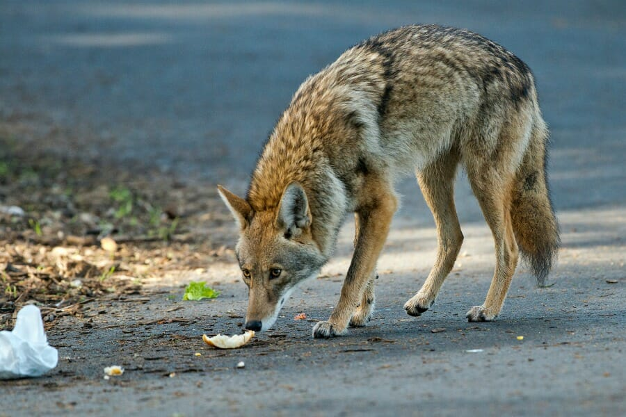 Coyote sniffing food on the ground