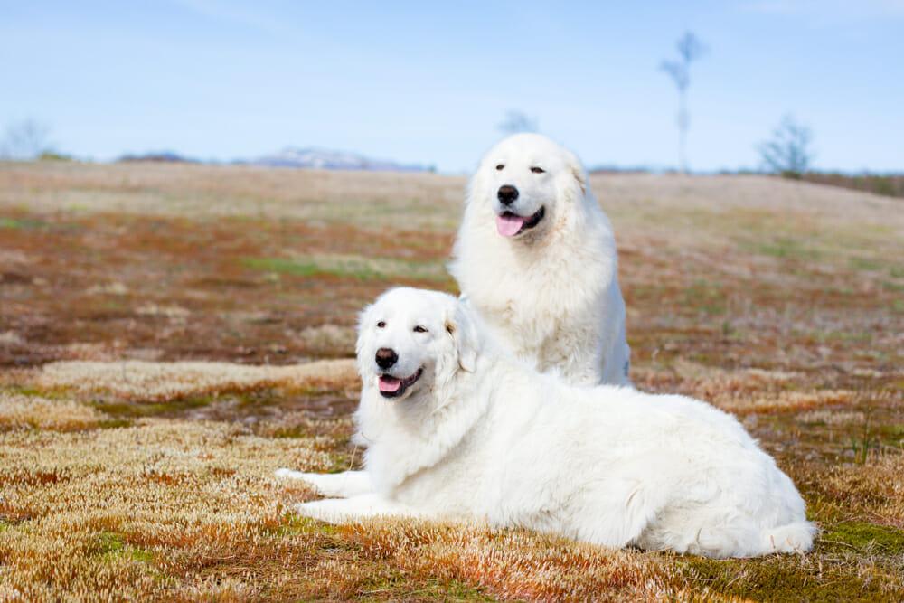 Maremma dogs