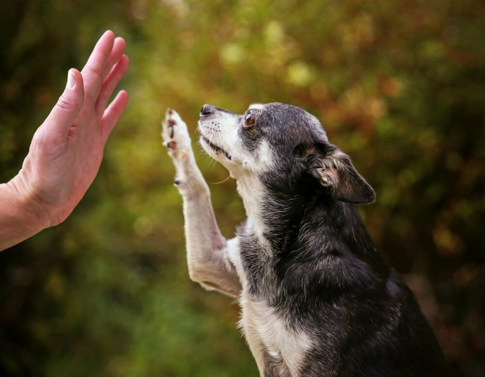 Senior dog high-fiving owner